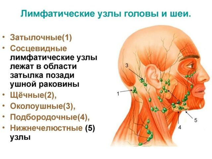 Лимфатические узлы на шее сзади расположение