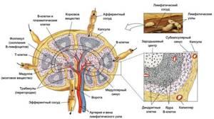 Подчелюстные лимфоузлы: причины воспаления, размеры, расположение, норма и увеличение, фото