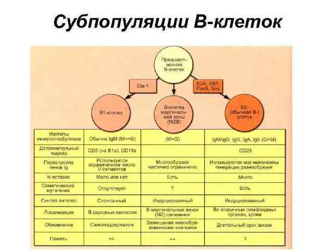 Т-лимфоциты: функции, дифференцировка, виды и значение